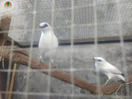 Penangkaran Burung di Klaten – Jalak Suren, Murai Batu hingga Cucak Rowo
